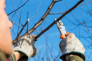 A person making a pruning cut using hand shears on a tree with no leaves as part of our tree pruning services.
