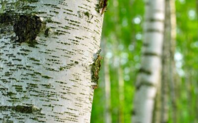 Plant Insect & Pest Profiles: The Bronze Birch Borer (BBB)