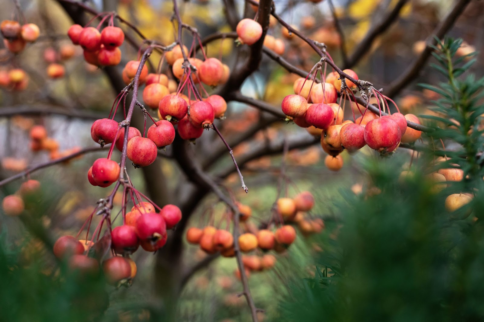 Attractive small red-orange mini crabapples hanging on a bare-branched crabapple tree in winter.