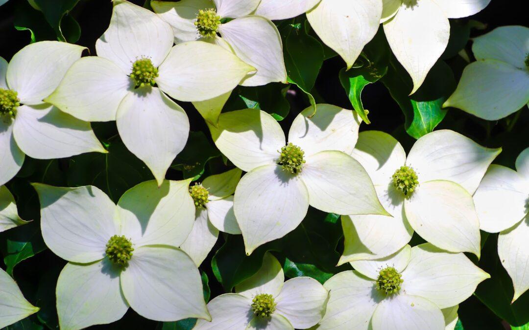 Flowering Tree Profiles: Cornus kousa Dogwood