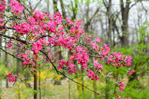 Plant a Flowering Crabapple for Beautiful Spring Flowers
