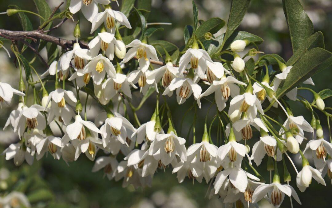 Flowering Tree Profiles: Japanese Snowbell (Styrax japonicus)
