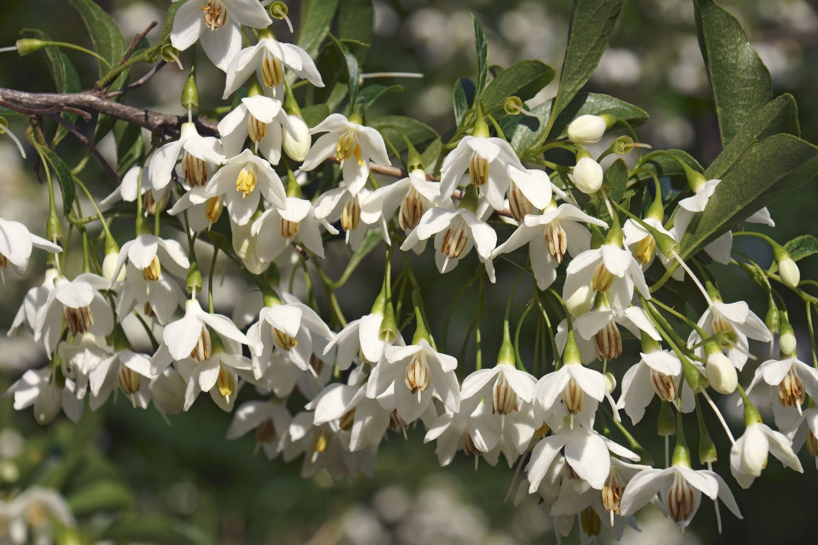 Close up of delicate white flowers of the Japanese snowbell tree, contrasting beautifully with their shiny green leaves.