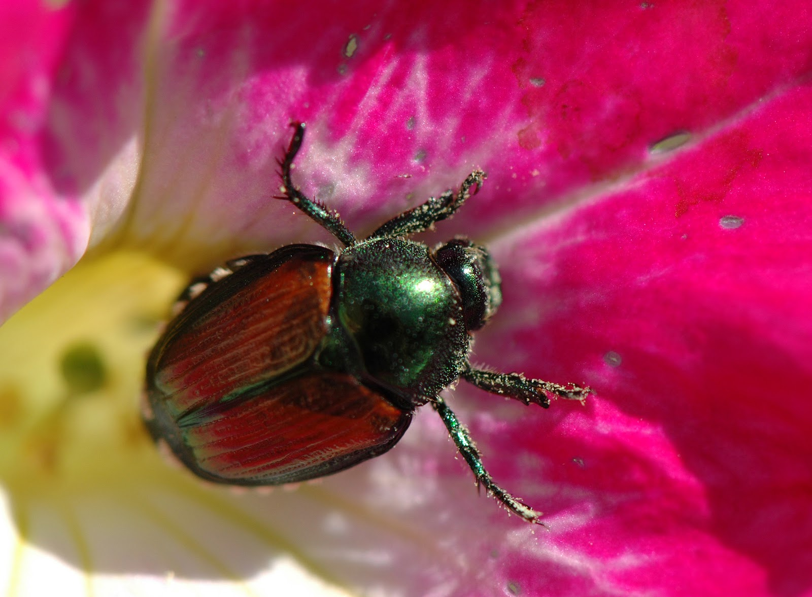 An image of a Japanese Beetle on a pink flower that our tree pest control service will help you contain.