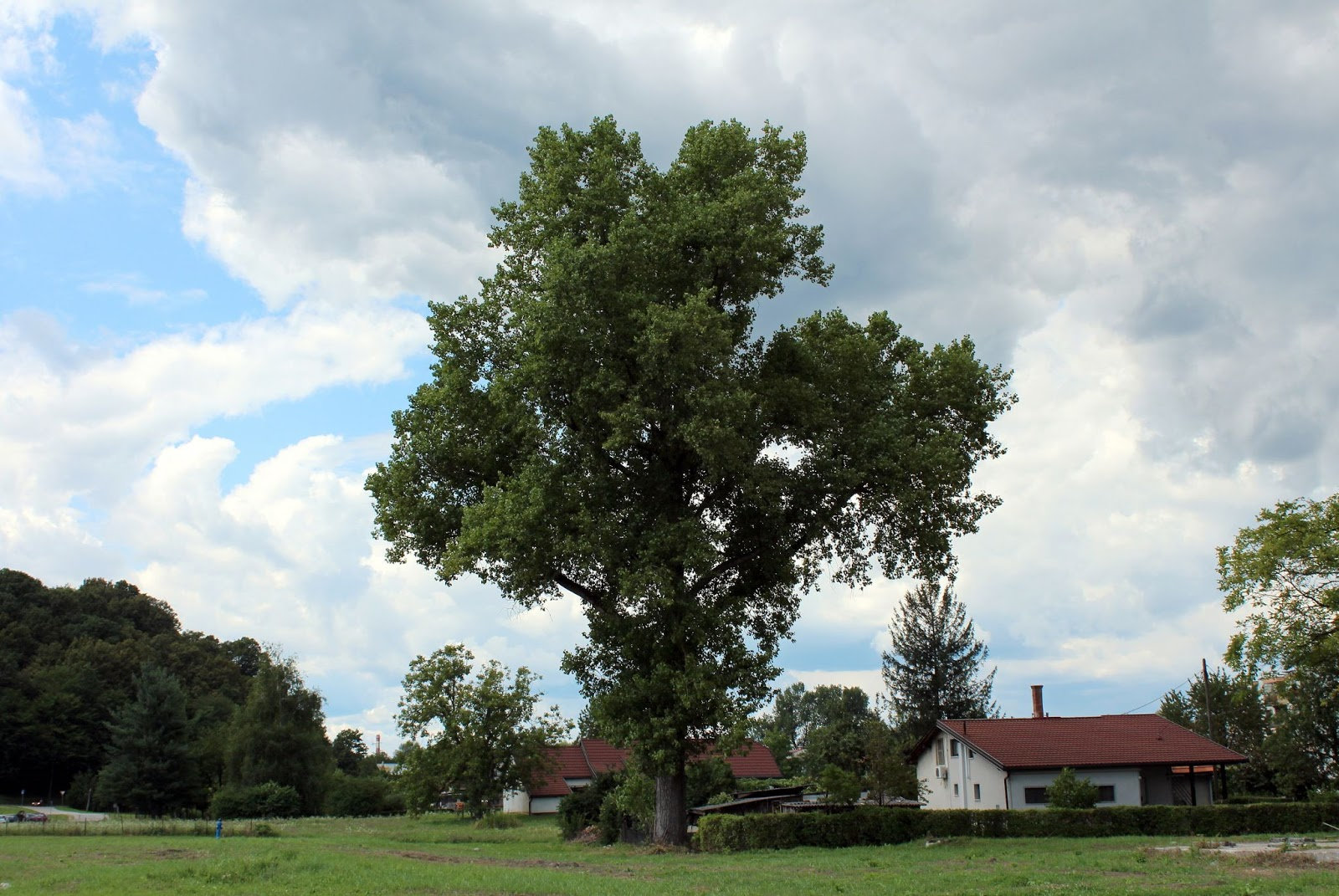 Image of a large tree growing close to a farm house in the countryside, ready for our tree risk assessment.