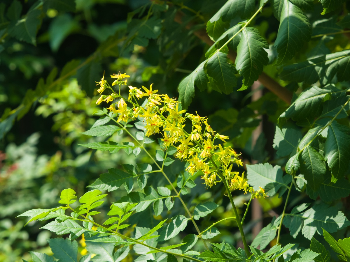 Image of a close up of the small yellow blooms of the Golden Rain Tree.