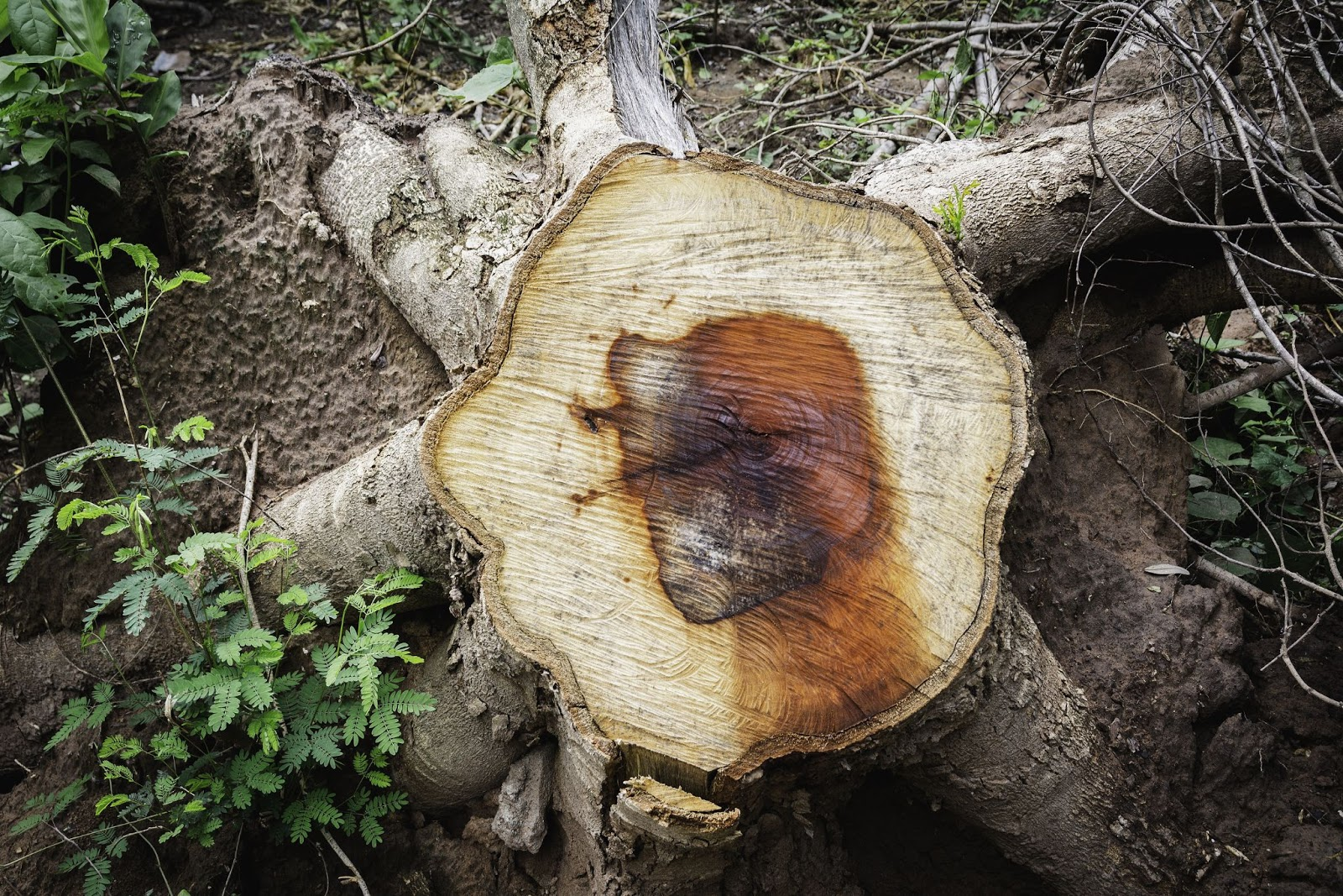 Image looking down to the top of a stump with large roots in the ground that is in need of stump removal services.