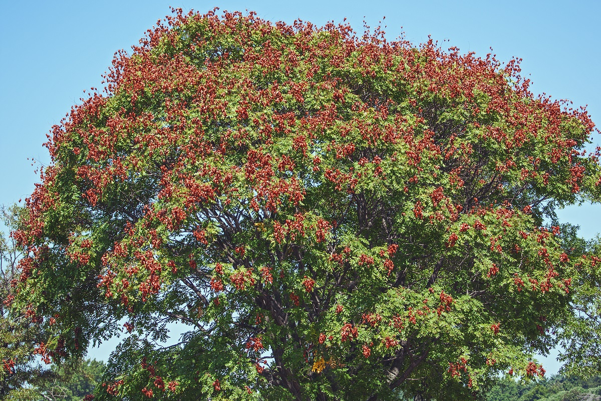 Image of the Golden Rain Tree with bronze-colored flowers.