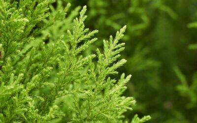 Tree Profiles: Donard Gold Monterey Cypress