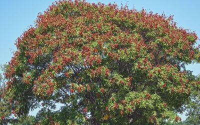 Flowering Tree Profiles: Golden Rain Tree