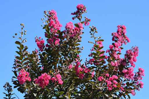 Image of the top of a crepe myrtle or lagerstroemia indica tree showing off it's prolific pink blooms.