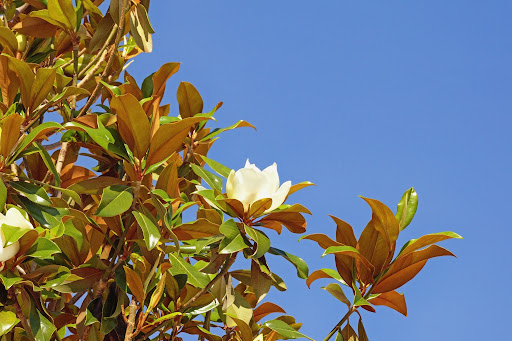 Flowering Tree Profiles: The Southern Magnolia