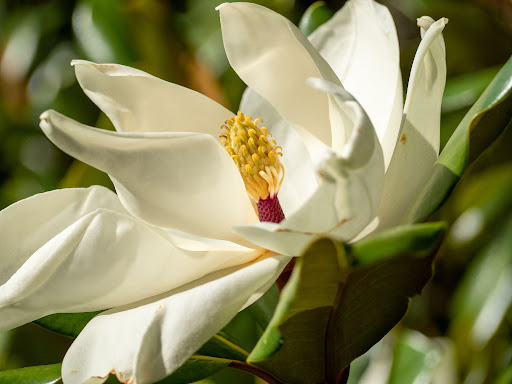 Close up image of a southern magnolia or Magnolia grandiflora cream colored flower with bright yellow pistil.