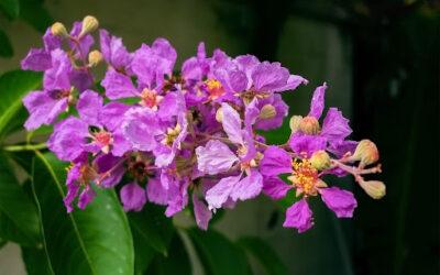 Flowering Tree Profiles: Crape Myrtle (Lagerstroemia indica)