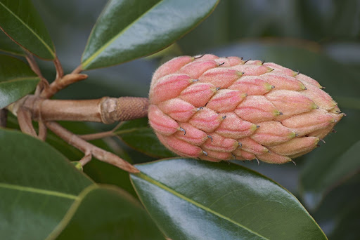 Close up image of a red/yellow bud from a southern magnolia or Magnolia grandiflora, next to shiny green leaves.